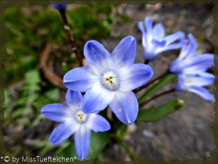 Chionodoxa luciliae - Schneeglanz2